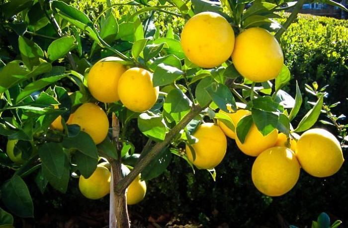 Lənkəranda 5 min ədəd limon oğurlandı