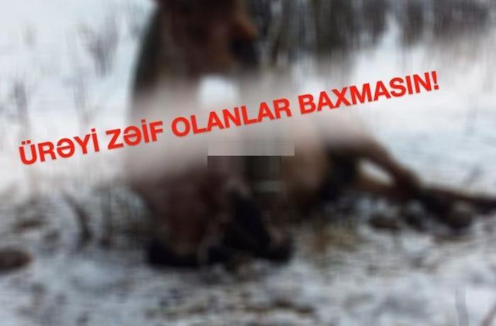 Gədəbəydə vəhşilik: Atı şaxtada ağaca bağlayıb... — VİDEO (+18)