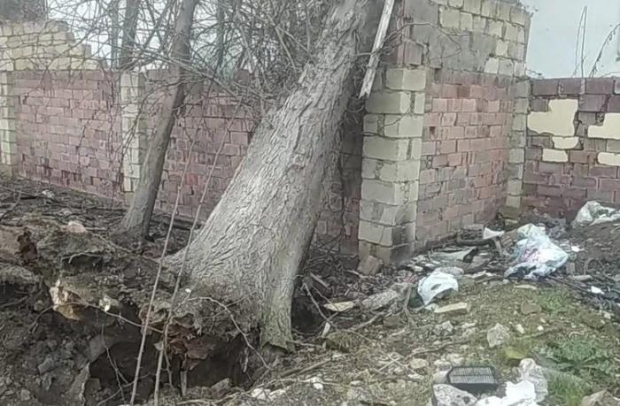 Kaliforniyadan Salyana gətirilən ağac binanın üstünə aşdı