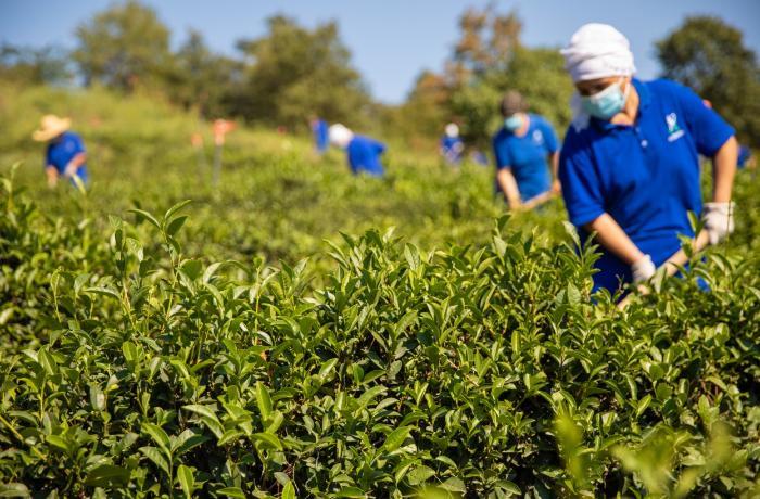 """Doğma Çay """"Azerçay"""" çayçılıq sahəsinin inkişafına dəstək verməyə davam edir — FOTO"""