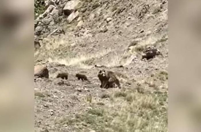 Kəlbəcər dağlarında ayı və balaları görüntüləndi — VİDEO