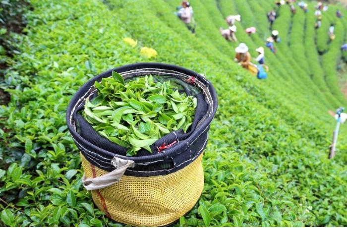 Azərbaycan çay idxalını 4 % artırıb