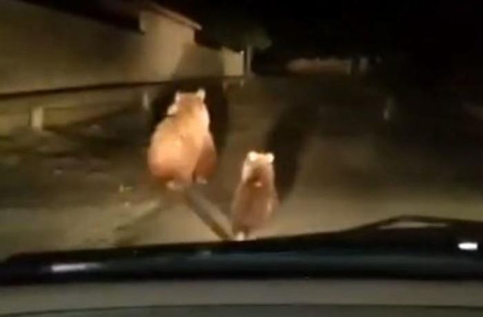 Balakəndə yaşayış məntəqəsində ayılar peyda oldu — VİDEO
